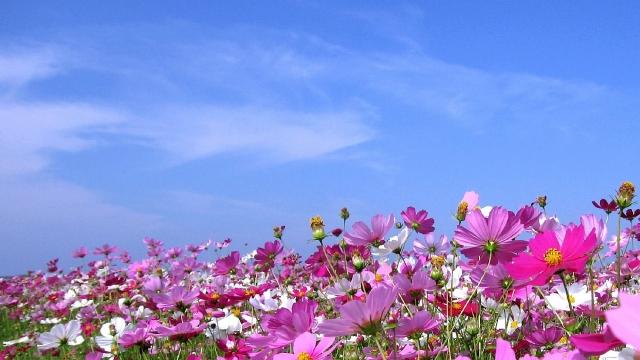 昭和記念公園のコスモスの見ごろや摘み取り体験とアクセス&駐車場